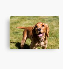 Casper the Cocker Spaniel Canvas Print