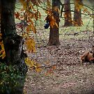 Elk at rest by Kent Burton
