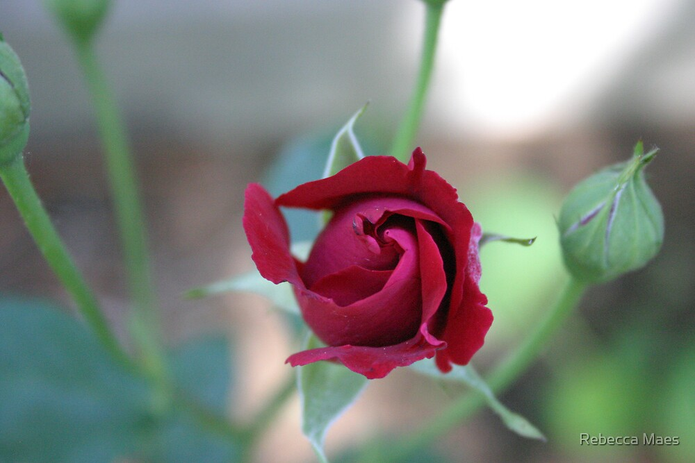 Red Rose by Rebecca Jakel