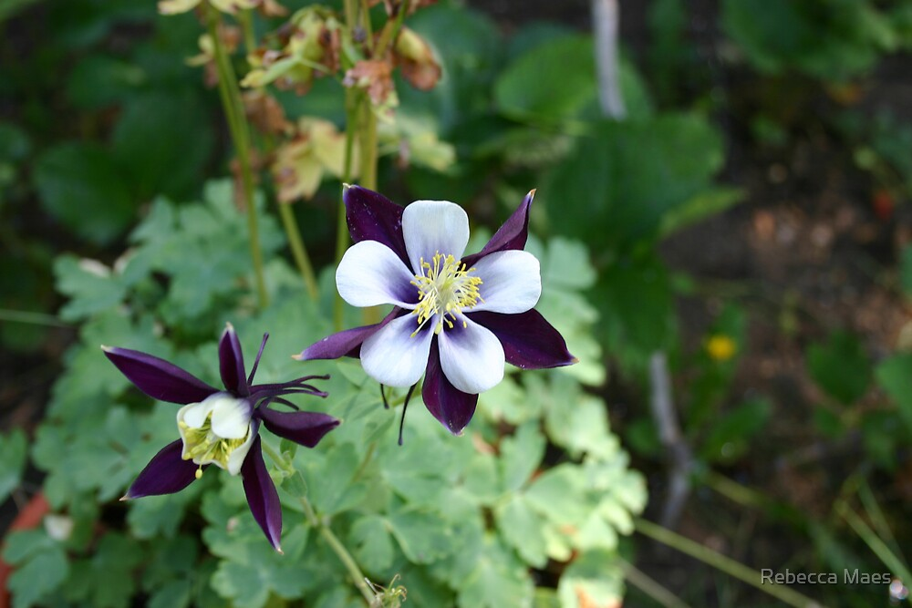 Columbine Flower by Rebecca Jakel