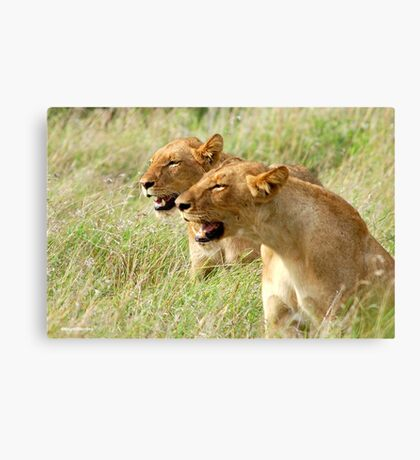 DOUBLE TROUBLE - The lionesses - Panthera leo Canvas Print
