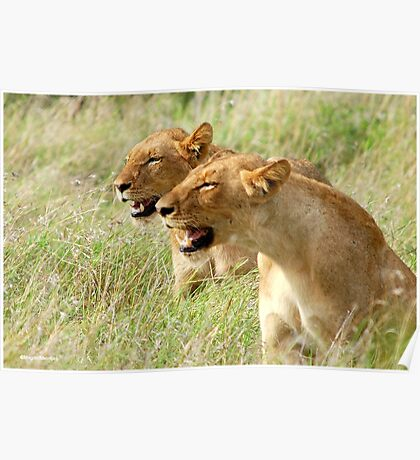 DOUBLE TROUBLE - The lionesses - Panthera leo Poster