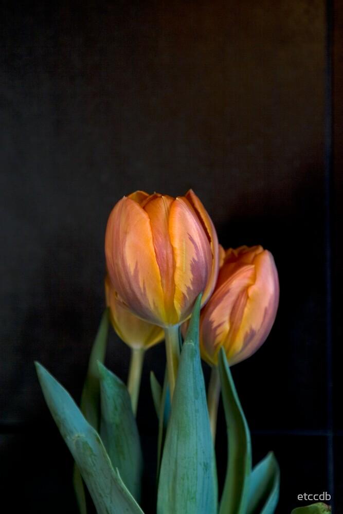 tulips by etccdb