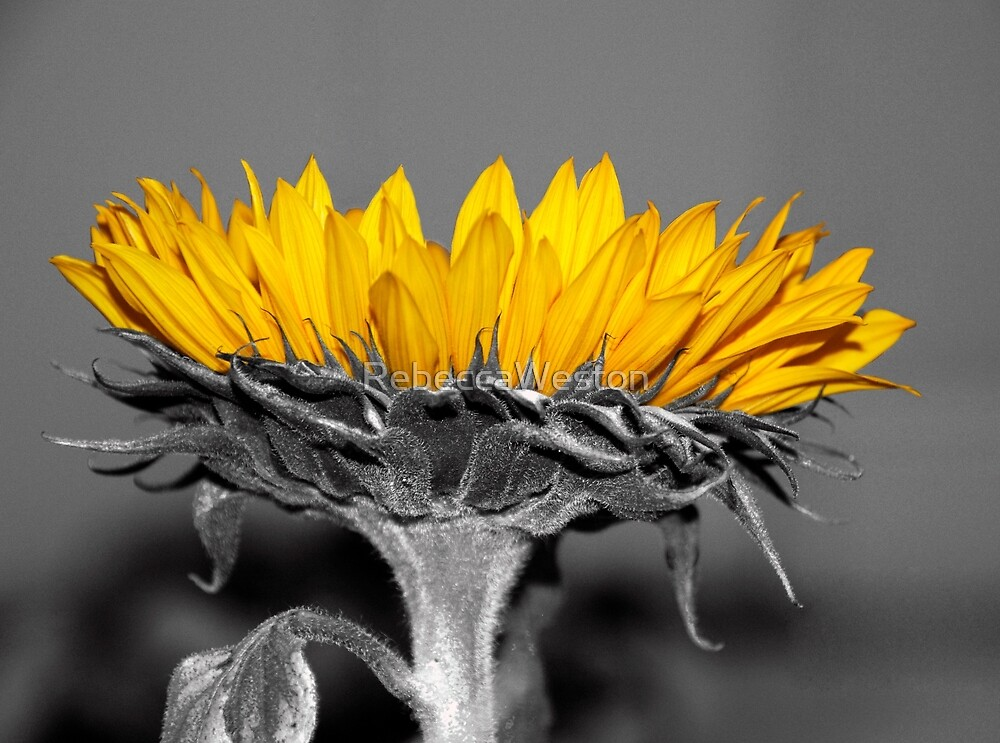 Ah, Sunflower, weary of time by RebeccaWeston