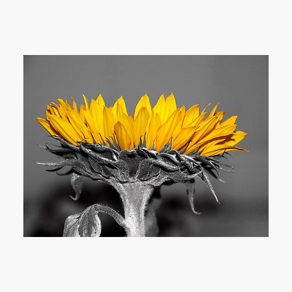 Ah, Sunflower, weary of time Photographic Print