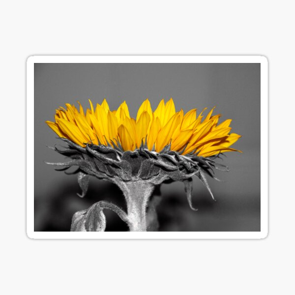 Ah, Sunflower, weary of time Sticker