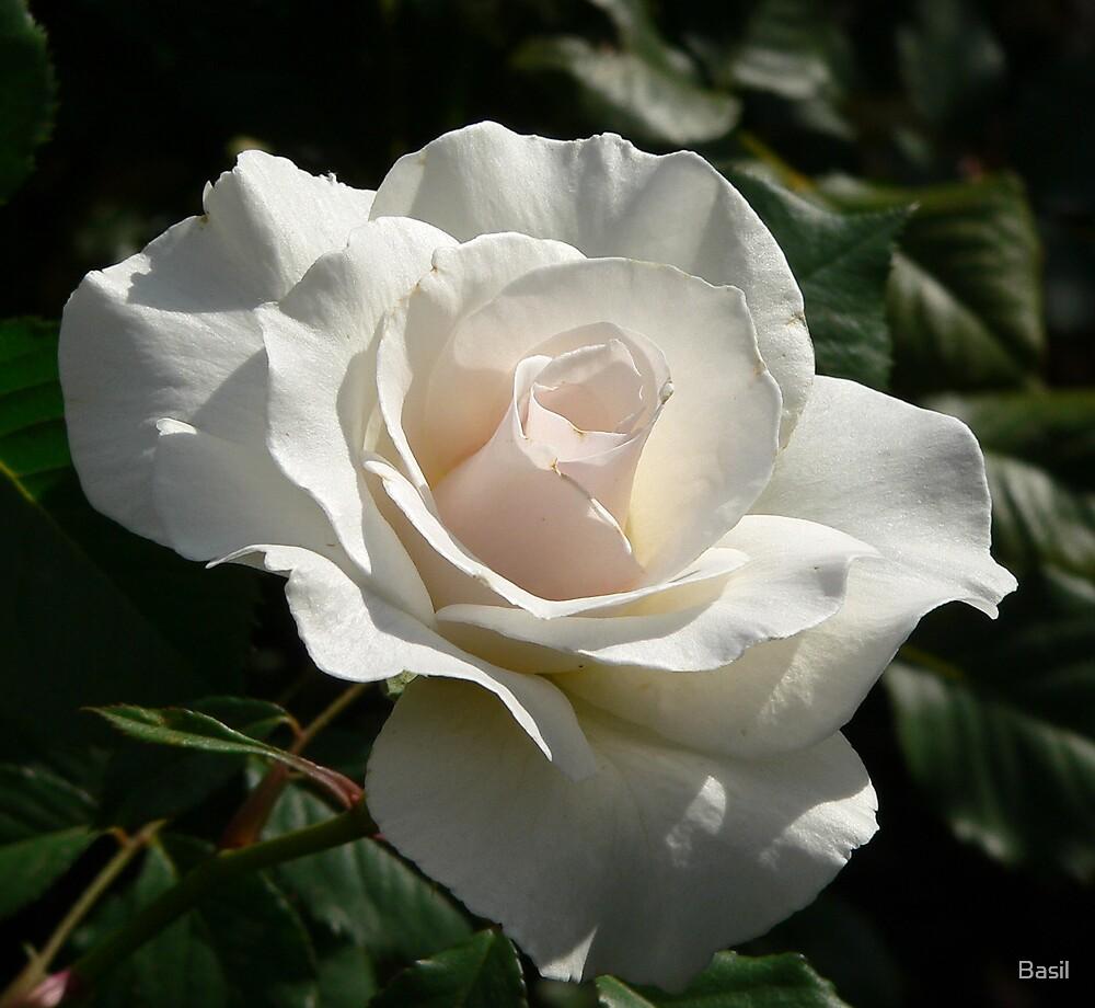 Summer rose by Basil