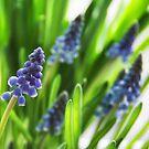 Grape Hyacinth by Kasia-D