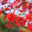 Illawarra flame tree by Anny Arden