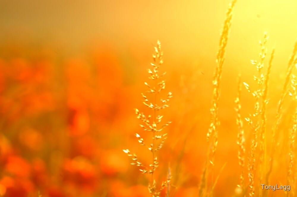 Harvest sunset by TonyLegg