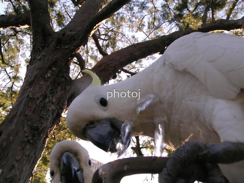 photoj Australia Cocky, 'My Turn' by photoj