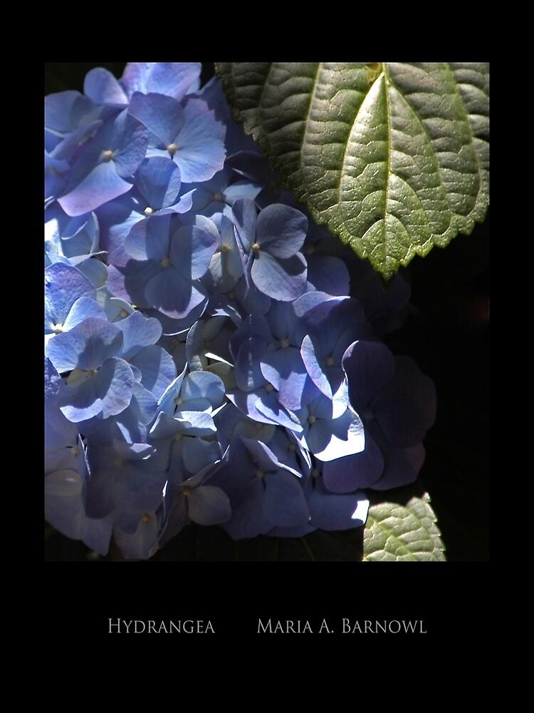 Hydrangea - Cool Stuff by Maria A. Barnowl