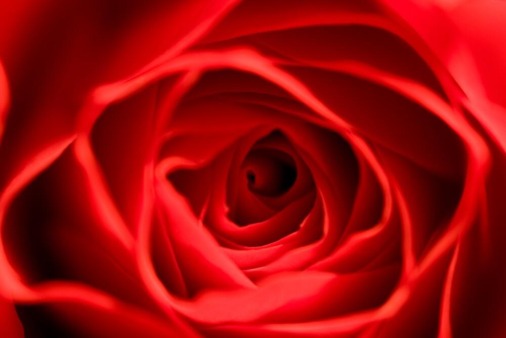 Love Rose by Chris Goor