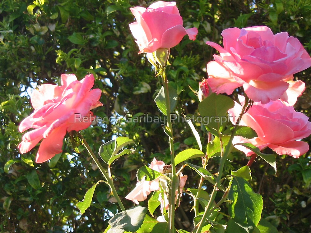 pink rose 2 by Rebecca Garibay Photography
