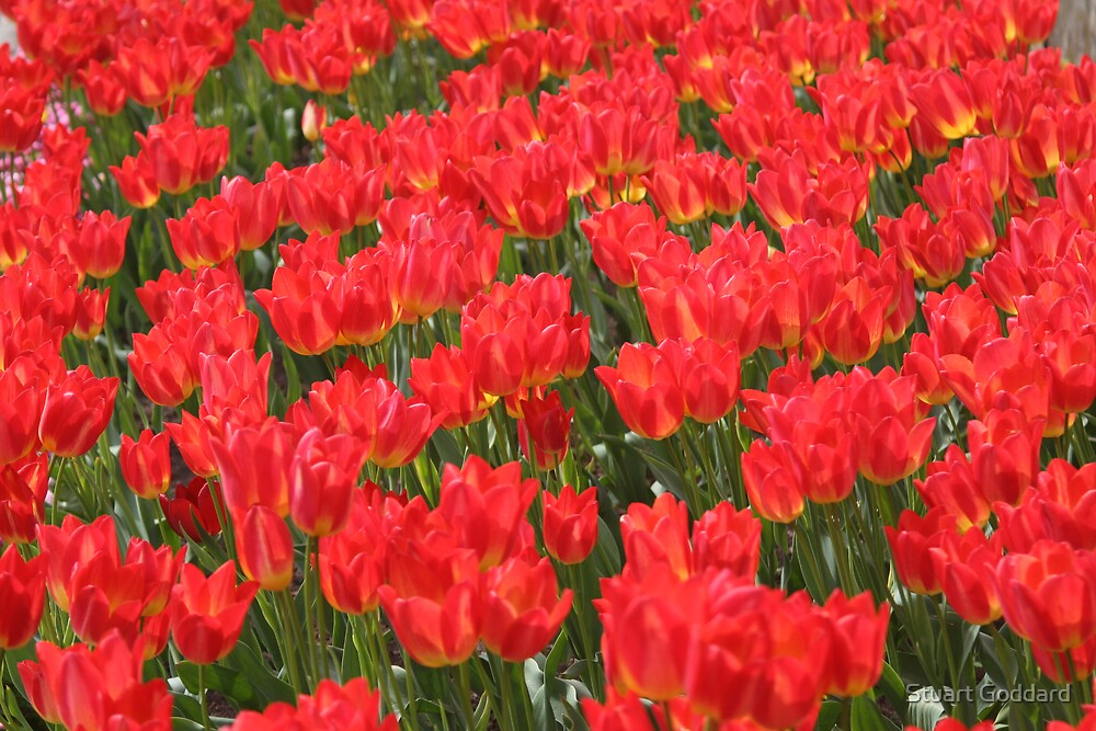 Tulip Field by Stuart Goddard