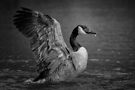 Canada goose stretching its wings. by Sara Sadler