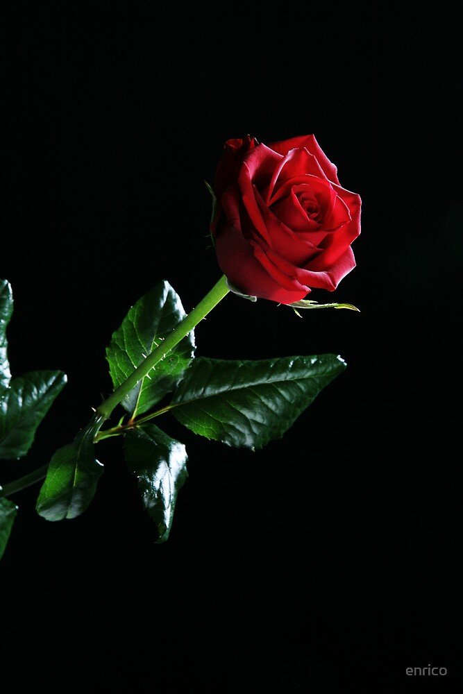 red rose by enrico