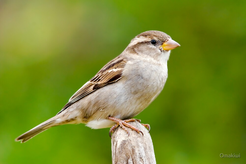 House Sparrow by Omakiwi