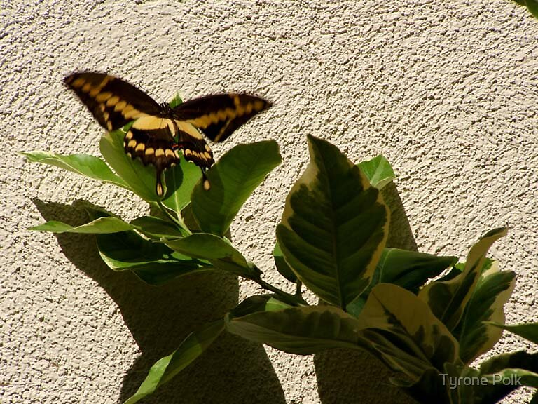 Butterfly In August by Tyrone Polk
