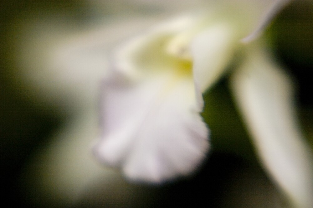 Orchid 1 by David Thibodeaux