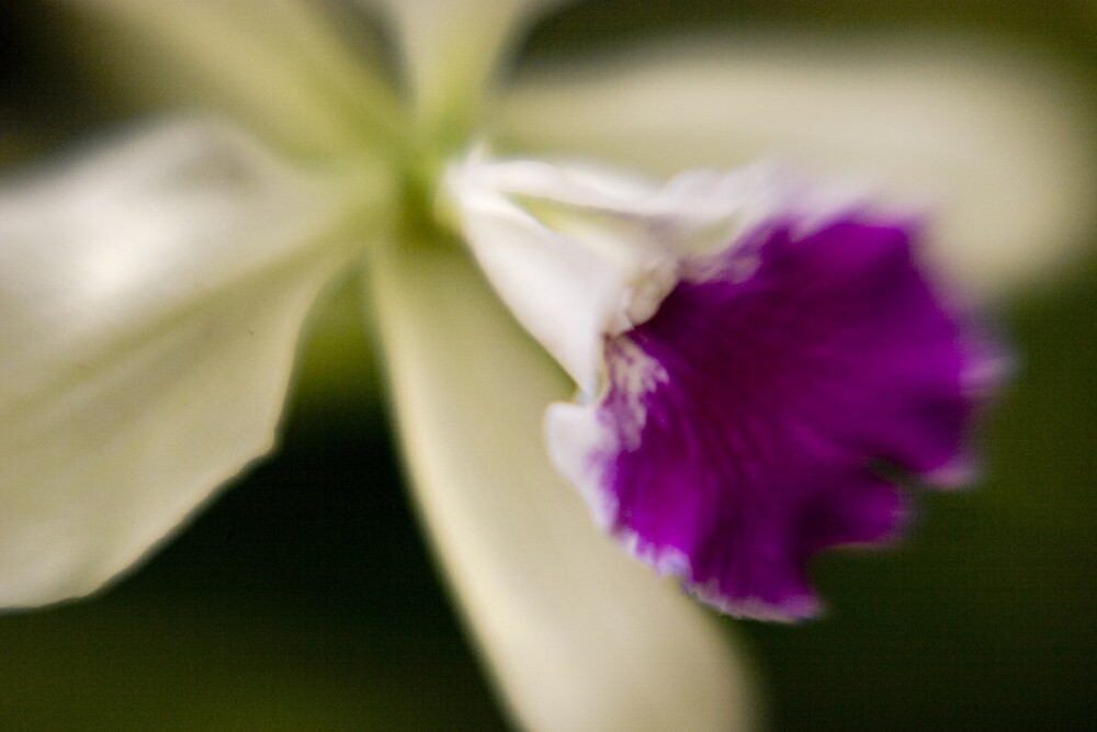 Orchid 2 by David Thibodeaux