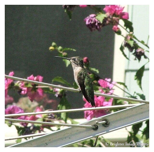 Sitting Hummingbird by Cateyes