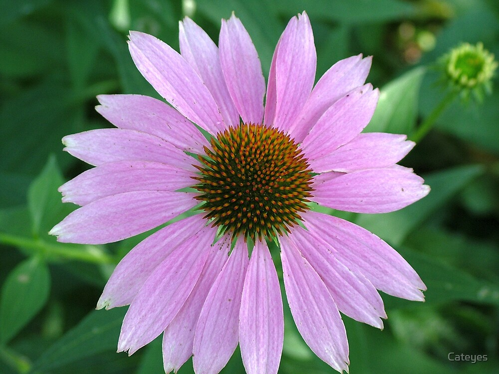 Coneflower by Cateyes
