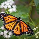 Monarch by PhotosByHealy