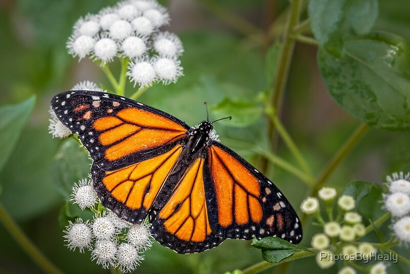 Monarch by Photos by Healy