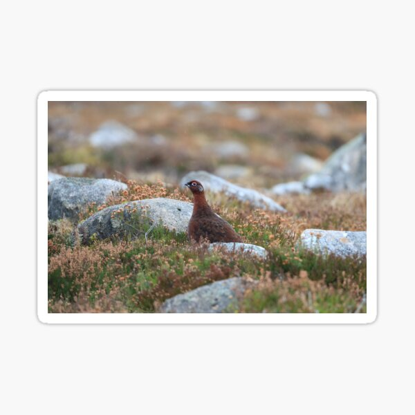 The Red grouse Sticker