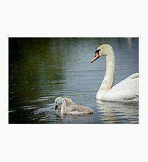 Swan and cygnets Photographic Print