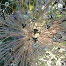 Seeded Allium by Wrigglefish