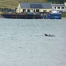 Dolphins swimming in the  Cromarty Firth, Scotland by hoppityhops