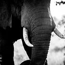 Abstract Elephant II by Beth Wold