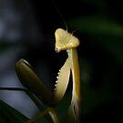 Yellow Mantis by Brett Habener