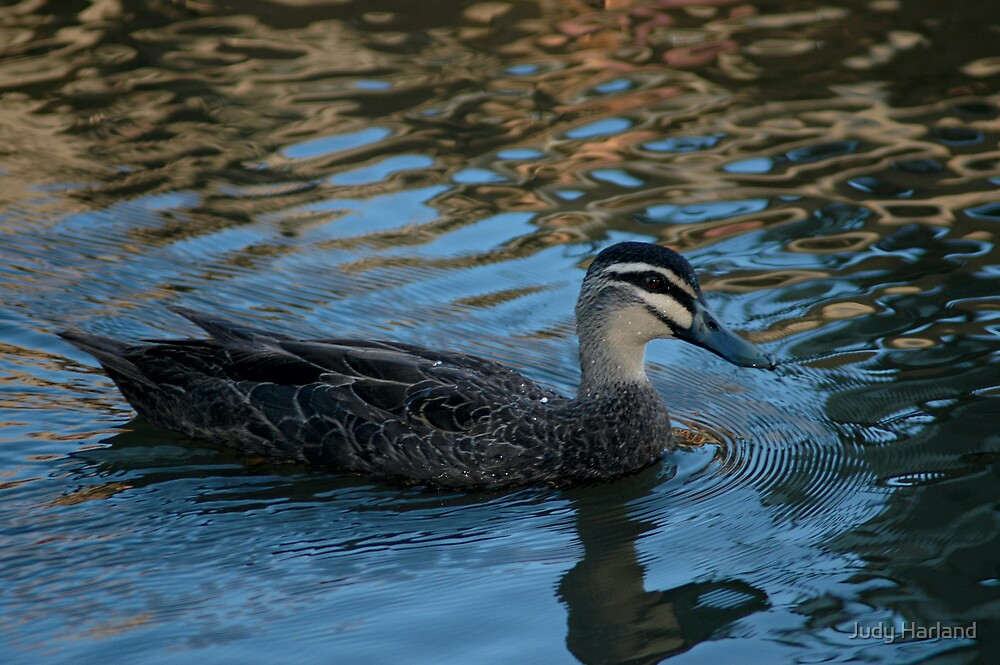 Pacific Black Duck by Judy Harland