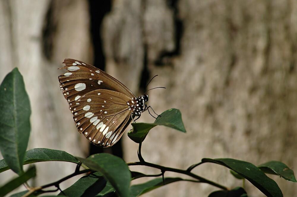Australian Crow Butterfly by Judy Harland