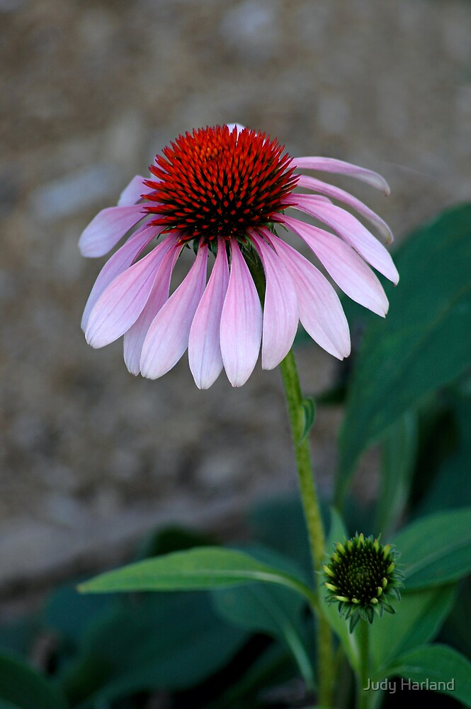 Echinacea Flower by Judy Harland