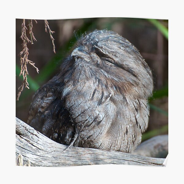 FROGMOUTH ~ Tawny Frogmouth by David Irwin Poster