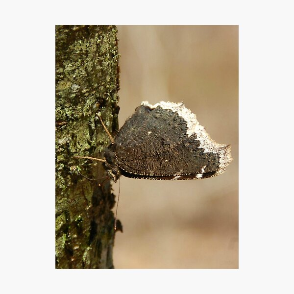 Bark Butterfly Photographic Print