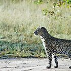 Leopard watch / Panthera pardus by cs-cookie