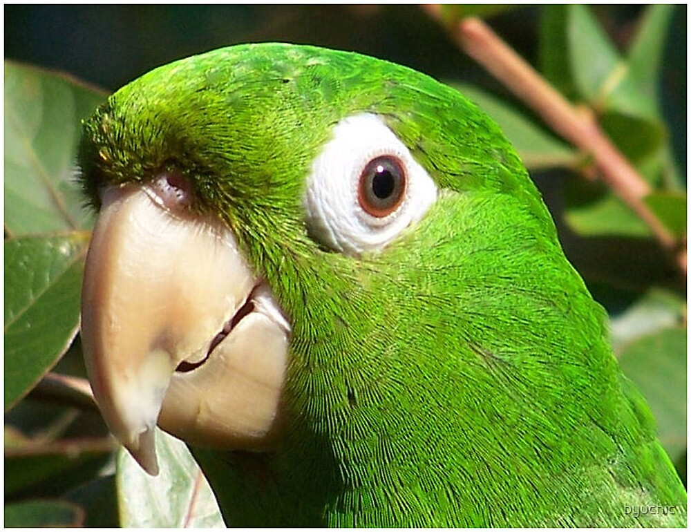 White Eye Conure by byuchic