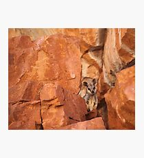 A Black-flanked Rock Wallaby Photographic Print