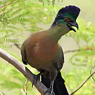 Purple crested turaco by Anthony Goldman