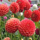 Charlie's Dahlias by Wendy Dyer