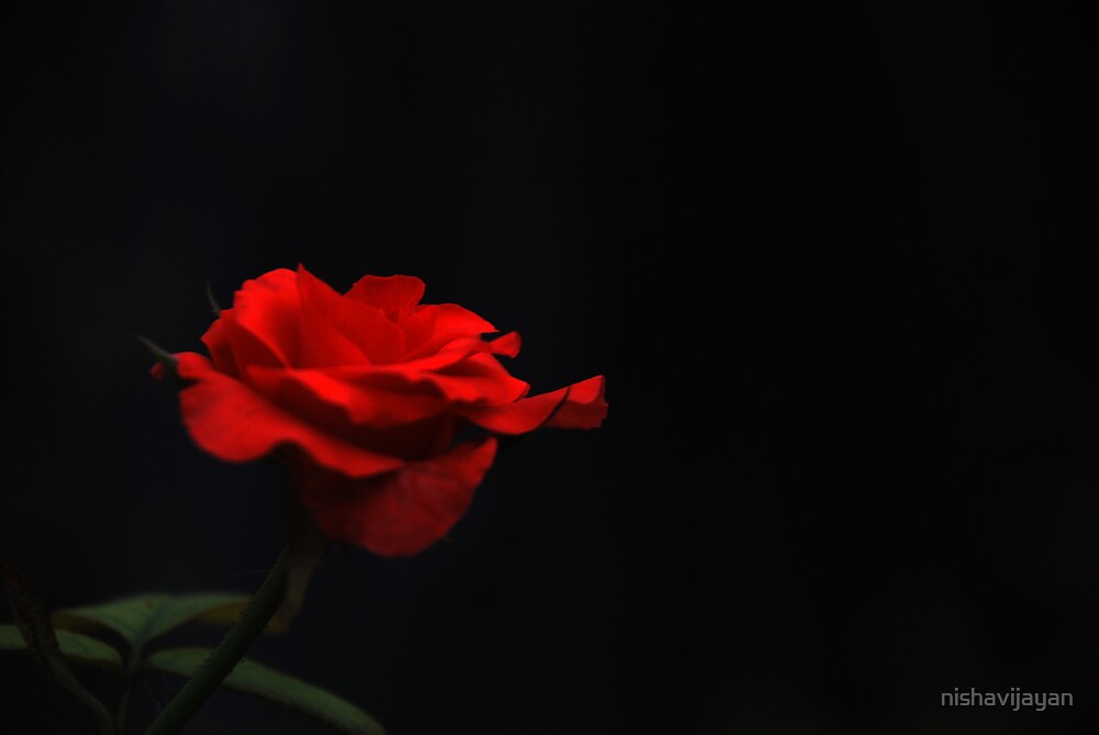 dark rose by nishavijayan