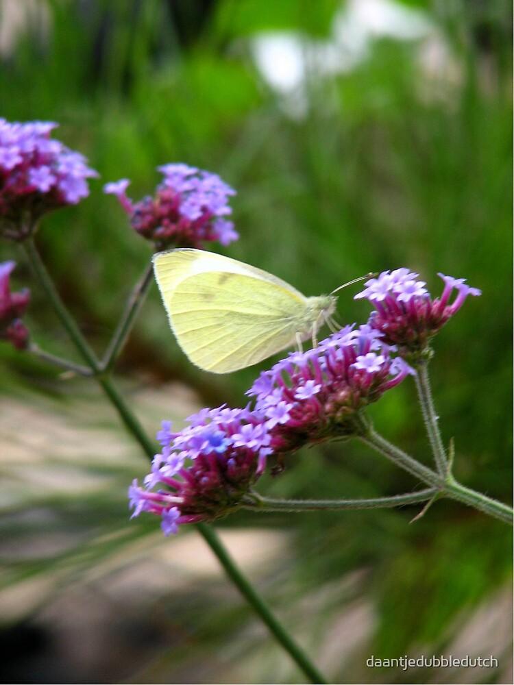 white butterfly on purple flower by daantjedubbledutch