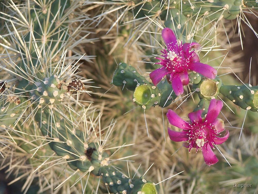 Cane Cholla 1850 by tkepner