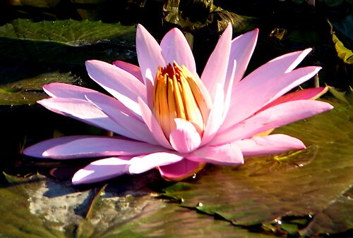 """Water Lily, Missouri Botanical Gardens"" by John Lautermilch"