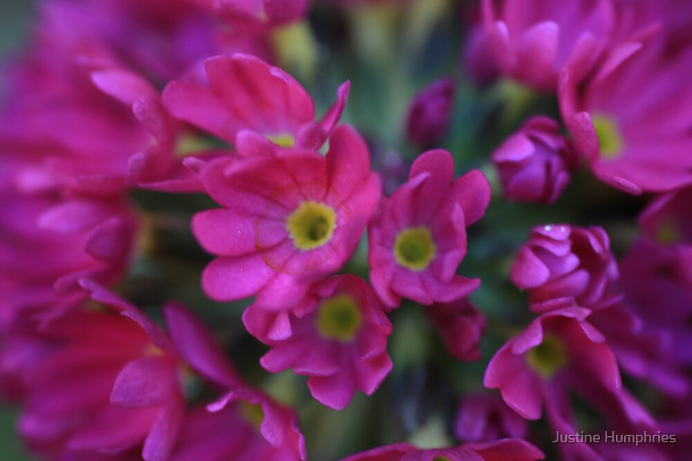 Pink petals by Justine Humphries